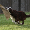Thumbnail image for Episode 121: Dealing with Over-Arousal in Dog Agility