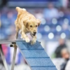 Thumbnail image for Episode 131: Free Your Agility Dog