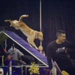 Bad Dog Agility Goes to Westminster 2016 thumbnail