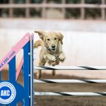 Episode 171: Obstacle Focus vs Handler Focus in Dog Agility thumbnail