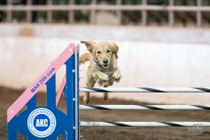 Episode 171: Obstacle Focus vs Handler Focus in Dog Agility post image